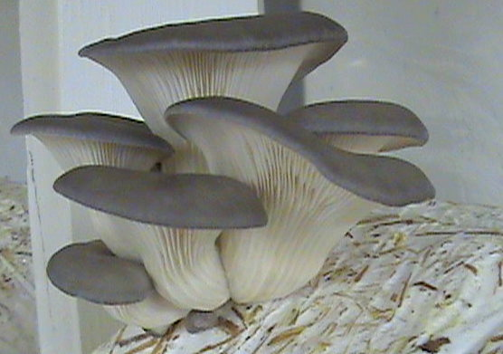 Brewer's Mushrooms - Mushroom Nutritional Values